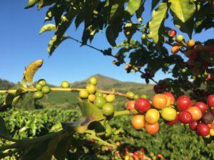 Culture du café au Portugal